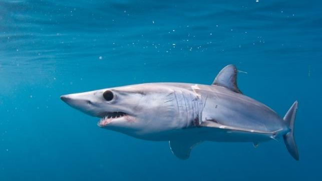Mako Shark Fishing